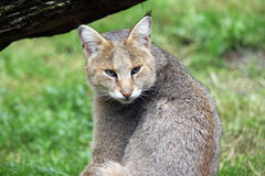 Jungle cat. Portrait of a jungle cat Stock Photo
