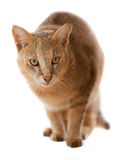 Jungle Cat. (Felis chaus furax) isolated on white Royalty Free Stock Image