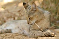 Jungle Cat. (Felis chaus furax Stock Images