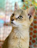 Jungle cat. Kitten of a Jungle cat,Felis chaus (also called swamp cat or reed cat Stock Images