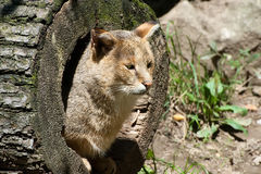 Jungle Cat. Is resting in the trunk of the tree feline Royalty Free Stock Photography