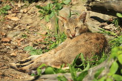 Jungle cat. The jungle cat lying in the grass Royalty Free Stock Photo