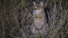 Jungle Cat with Eyes Closed royalty free stock images
