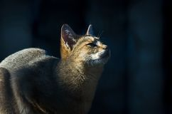 The jungle cat Felis chaus, also called the reed cat or swamp cat, looking up at sunset.  Stock Photography