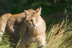 Jungle cat Felis chaus. Closeup Stock Photos