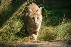 Jungle cat Felis chaus. Closeup Royalty Free Stock Photography