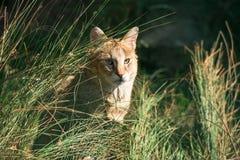 Jungle cat Felis chaus. Closeup Stock Images