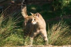 Jungle cat Felis chaus. Closeup Royalty Free Stock Image