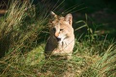 Jungle cat Felis chaus. Closeup Stock Photo