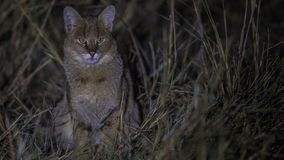 Jungle Cat in Reed. Jungle cat, Felis chaus is looking around among reed at night stock images