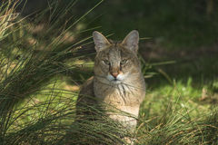 Jungle cat (Felis chaus). Looking straight through grass Royalty Free Stock Images