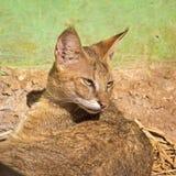 Jungle cat. (Felis chaus) in Nandankanan zoo Royalty Free Stock Image