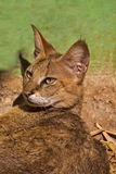 Jungle cat. (Felis chaus) in Nandankanan zoo, Orissa Stock Images