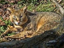 Jungle cat, Felis chaus, resting on the ground. The Jungle cat, Felis chaus, resting on the ground Stock Photo