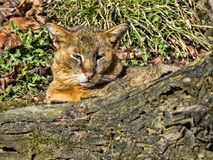Jungle cat, Felis chaus, resting on the ground. The Jungle cat, Felis chaus, resting on the ground Royalty Free Stock Images