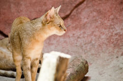 Jungle cat. Live in the FARM Royalty Free Stock Photo