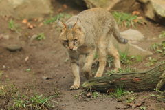 Jungle cat. Strolling in the soil Royalty Free Stock Photo