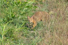 Jungle Cat or Wild Cat in the Field. Jungle Cat or Wild CatFelis chaus is hiding behind the grass and crop in the Field. It is also known as Reed Cat or Swamp Royalty Free Stock Photography