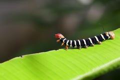Jungle Caterpillar. A close up shot of a colorful caterpillar (Pseudosphinx tetrio) shot in tropical Jamaica Royalty Free Stock Image