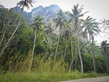 Jungle with coconut trees under a high rocky mountain. Thailand royalty free stock image