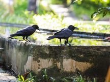 Jungle crow large-billed crow, thick-billed crow, widespread Asian species of crow, is very adaptable to wide ranges of food sou. Rces, making it capable of stock image
