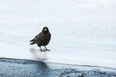 Jungle Crow Standing on Ice Stock Photos