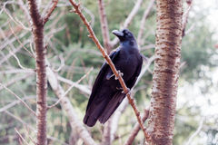 A Jungle Crow in a Tree Royalty Free Stock Image