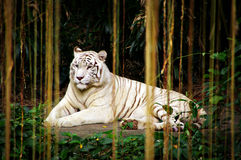 Through the Jungle Curtains. A white Siberian Tiger as seen through jungle vines or roots in Singapore. Soft focus Royalty Free Stock Photo