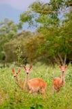jungle de cerfs communs photos libres de droits