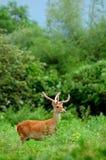 jungle de cerfs communs photographie stock