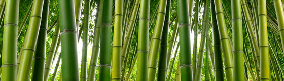 Jungle en bambou botanique Image libre de droits