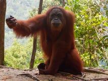 Jungle exigeante d'Utan Sumatra d'orang-outan images stock