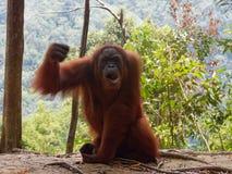 Jungle fâchée d'Utan Sumatra d'orang-outan photographie stock libre de droits