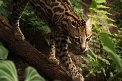 Jungle Feline Royalty Free Stock Photos
