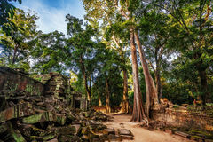 Jungle Forest at Angkor Wat Area Royalty Free Stock Images