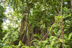 Jungle forest, abundant vegetation. Indonesian jungle forest with huge trees royalty free stock image