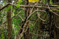 Jungle forest liana long-stemmed woody vines. Jungle forest tree roots and lianas in a green selva of tropical climate in South America, Africa and Asia stock photography