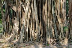 Jungle forest tree banyan roots in tropical rainforest. Jungle forest tree roots and lianas in a green selva of tropical climate in South America, Africa and stock images