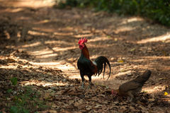 Jungle fowl Royalty Free Stock Images