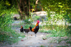 Jungle fowl. Crowd of Wild fowl, Chicken in jungle stock photos