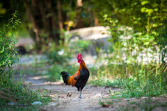 Jungle fowl Stock Images