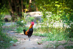 Jungle fowl Royalty Free Stock Photography