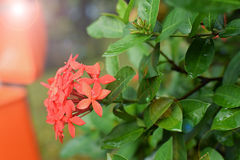 Jungle geranium  flame of the woods and jungle flame Ixora coccinea Red flowering plant in the garden Stock Photos