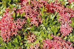 Jungle Geranium Stock Images