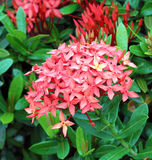 Jungle geranium (Ixora coccinea) Royalty Free Stock Photos