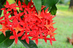 Jungle geranium (Ixora coccinea). Close-up. Red color Royalty Free Stock Images
