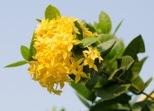 Jungle geranium (Ixora coccinea). Close-up. yellow color. Royalty Free Stock Photography