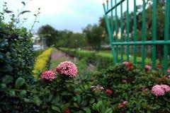 Jungle geranium (Ixora coccinea). pink color royalty free stock images