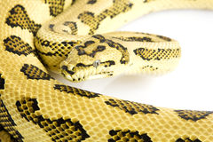 Jungle Jaguar Carpet Python Stock Photos
