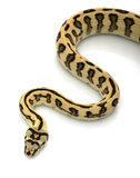 Jungle Jaguar Carpet Python Royalty Free Stock Photo